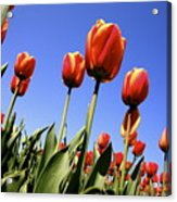Tulips Time 3 Acrylic Print