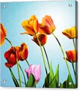 Tulips Acrylic Print by Trevor Wintle