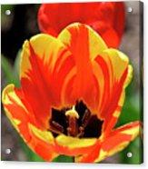 Tulips Yellow Red Acrylic Print