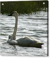Tundra Swan And Signets Acrylic Print