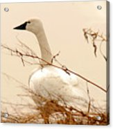 Tundra Swan Acrylic Print