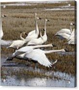 Tundra Swans Alberta Canada 3 Acrylic Print