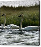 Tundra Swans And Cygents Acrylic Print