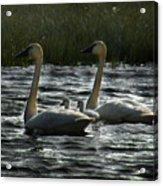 Tundra Swans Acrylic Print