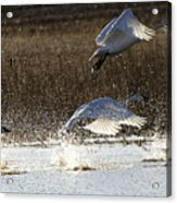 Tundra Swans Take Off 2 Acrylic Print