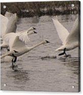 Tundra Swans Take Off Acrylic Print