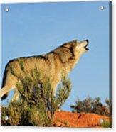 Tundra Wolf Acrylic Print