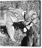 Tundra Wolf Pups Acrylic Print
