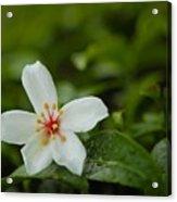 Tung Flower On Tea Tree Acrylic Print