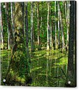 Tupelo Trees In Mississippi  Acrylic Print