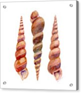Turetella Shells Acrylic Print