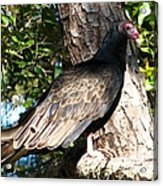 Turkey Buzzard Acrylic Print