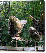 Turkey Dance Acrylic Print