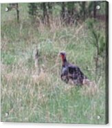 Turkey In The Straw Acrylic Print