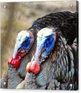 Turkey Prowl Closeup Acrylic Print