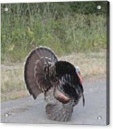 Turkey Stroll Acrylic Print