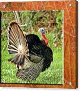 Turkey Strut Acrylic Print
