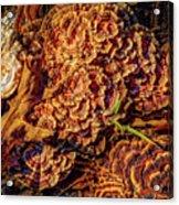 Turkey Tail Mushrooms  Acrylic Print