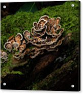 Turkey Tail Acrylic Print