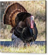 Turkey Tom Struts Acrylic Print