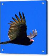 Turkey Vulture - 2 Acrylic Print
