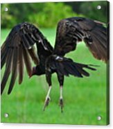 Turkey Vulture In Flight Acrylic Print
