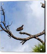 Turkey Vulture On Dead Tree Acrylic Print