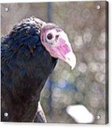 Turkey Vulture Acrylic Print