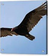 Turkey Vulture Soaring Acrylic Print