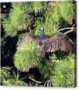Turkey Vulture Spread Two Acrylic Print