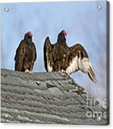 Turkey Vultures On Roof Acrylic Print