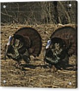 Turkeystrutin Acrylic Print