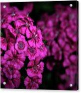 Turkish Carnation 5140 H_2 Acrylic Print