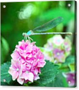 Turquiose Dragonfly  And Hydrangea Acrylic Print