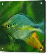 Turquoise Rainbowfish 2 Acrylic Print