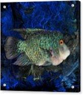 Turquoise Texas Cichlid  Acrylic Print