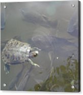 Turtle Amongst Fish Acrylic Print