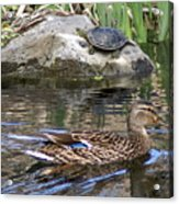 Turtle And Duck Acrylic Print