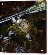 Turtle And The Stick Acrylic Print