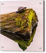 Turtle Basking Acrylic Print