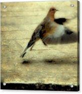 Turtle Dove Acrylic Print