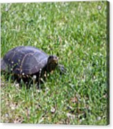 Turtle In The Grass Acrylic Print