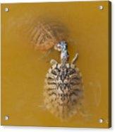 Turtle Kiss Acrylic Print