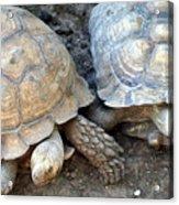 Turtle Turtle Acrylic Print