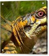 Turtle-turtle Acrylic Print by Stephanie  Varner