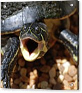 Turtle With His Mouth Wide Open  Acrylic Print