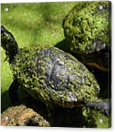 Turtle Yoga Acrylic Print