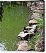 Turtles 7832 Acrylic Print