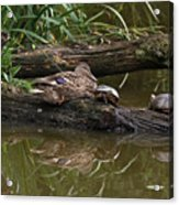 Turtles And A Duck Acrylic Print