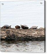 Turtles Acrylic Print